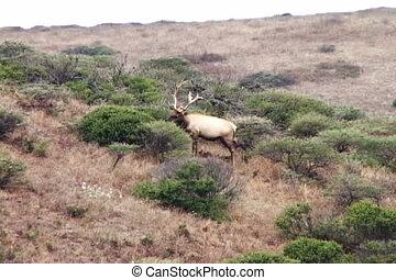Single Elk grazing side view hill