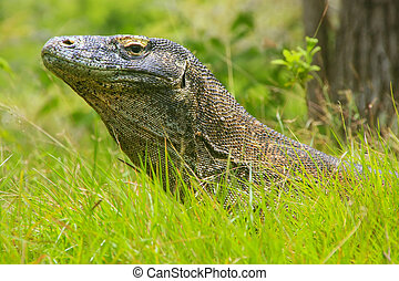 Portrait of Komodo dragon lying in grass on Rinca Island in...