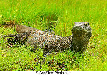 Komodo dragon lying in grass on Rinca Island in Komodo...