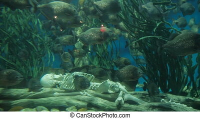 Piranha fish (Pygocentrus nattereri) floating in special...