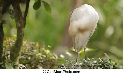 The cattle egret Bubulcus ibis cleaning its feathers....