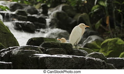 The cattle egret (Bubulcus ibis) a cosmopolitan species of...