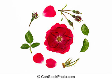 red rose flowerhead, petals and leaves arranged in circle on...
