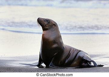 Galapagos sea lion on Santiago Island in Galapagos National Park, Ecuador