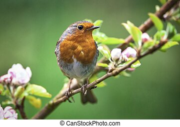 Robin on a branch with white flower buds - A red robin...