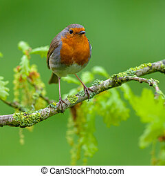Robin perched on oak branch with fresh leaves - Red robin...