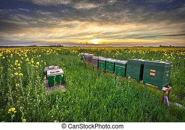 Beehives in a field - Beehives in a Rapeseed field at sunset...