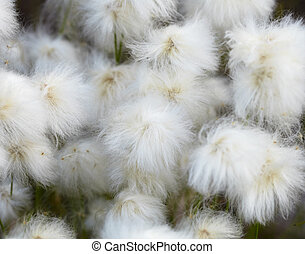 Marsh plants - cotton grass Eryophorum Fruits close-up