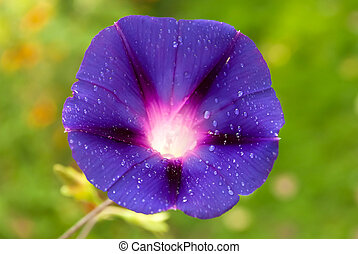 Morning glory (Ipomoea purpurea) closeup