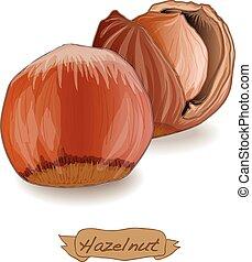 Hazelnut vector isolated image on the white