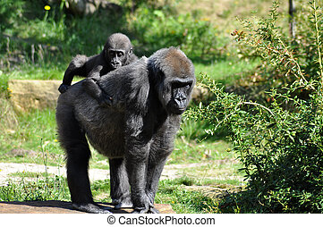 Gorilla baby and mother - Gorilla baby heaving a ride on...
