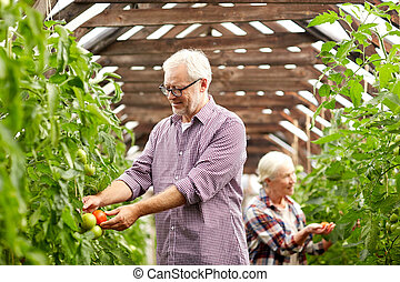 old couple picking tomatoes up at farm greenhouse - farming,...