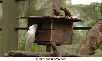 The rainbow lorikeet (Trichoglossus moluccanus) and The...