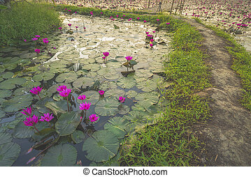 Lotus lake in Nakhonnayok, Thailand