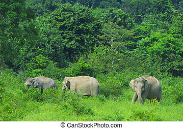 Asian wild elephants in the tropical forest of Kuiburi National Park, Thailand