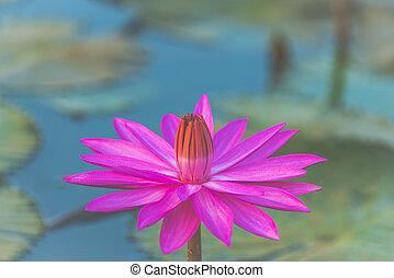 Pink lotus, image filter vintage