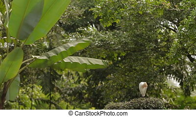 The cattle egret (Bubulcus ibis) cleaning its feathers....