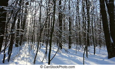 winter forest with snow and sunlight through trees
