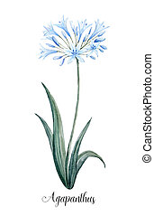Watercolor agapanthus blue flower - Beautiful illustration...