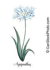 acuarela, azul, flor,  Agapanthus