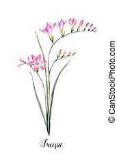 Watercolor pink freesia flower