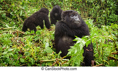Female mountain gorilla thinking with two baby gorillas -...