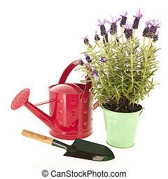 Lavender Stoechas - Lavender stoechas in green flower pot...