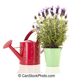 Lavender Stoechas - Lavender stoechas in green flower pot...