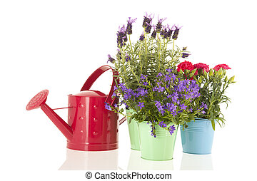 Lavender Stoechas - Lavender stoechas and Dianthus in blue...