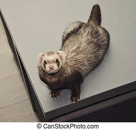 Funny ferret, top view - Funny ferret is sitting on a table...