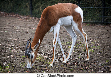 Young female gazelles eating grass in the zoo aviary....