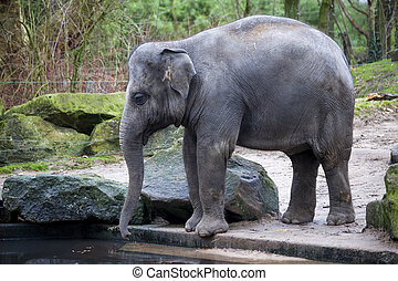 A trained elephant goes after a hard day in the jungle -...