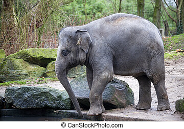 A trained elephant goes after a hard day in the jungle....
