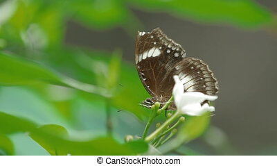 Butterfly collects pollen on flower, Kuala Lumpur, Malaysia.