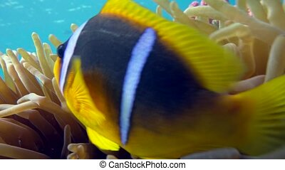 Clown fish in anemone close, Red sea. Egypt.