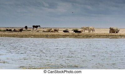 Domestic animals on sandy beach with sea waves in foreground...