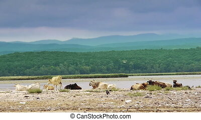 Domestic cows on sandy beach with coastal landscape iin...