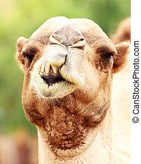 Closeup Funny Camel Face - Closeup photo of camel with...