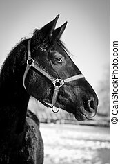 Black and white portrait of horse - Monochrome closeup...