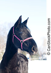 Black horse portrait in winter. Head with pink halter.