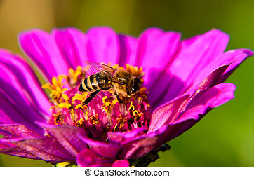 Macro of a bee collecting pollen on decorative garden flower...