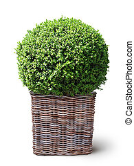 box plant in basket - box plant in wickerwork basket...