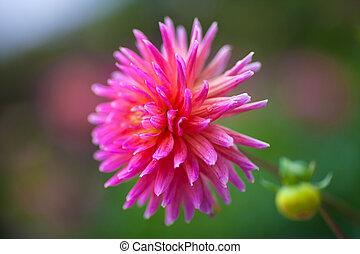 Pink Dahlia flower in full bloom closeup - Garden Dahlia...