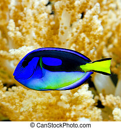 Regal tang - Blue regal tang fish in tropical aquarium