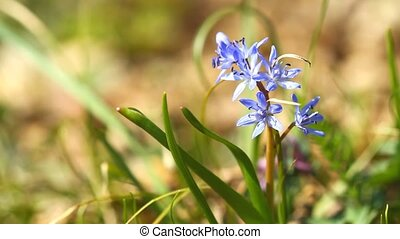 Flowers scilla bifolia - Beautiful spring flowers scilla...