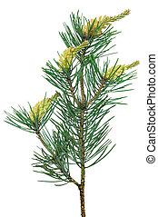 Pine (Pinus sylvestris) branch