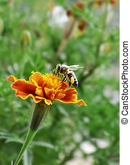 bee on flower - bee collecting pollen on flower blossom