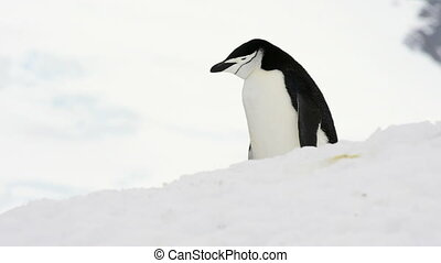 Chinstrap Penguin on snow in Antarctica