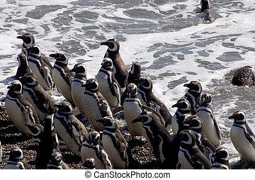 Argentine - Magellanic Penguins at Peninsula Valdes,...