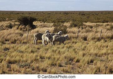 Argentine - Wildlife in Peninsula de Valdes, Patagonia,...